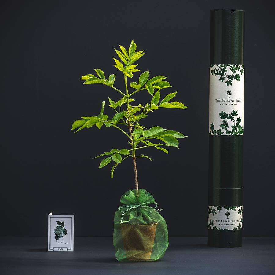 The Present Tree Elderflower Tree Gift