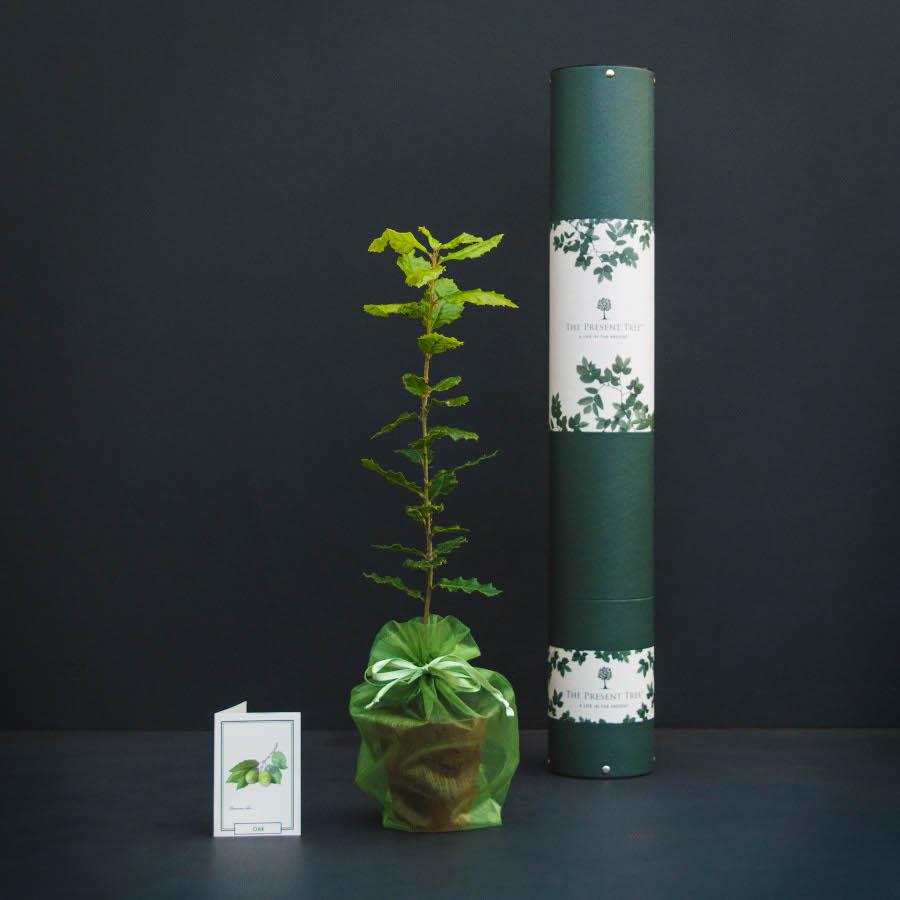 The Present Tree Evergreen Oak Tree Gift