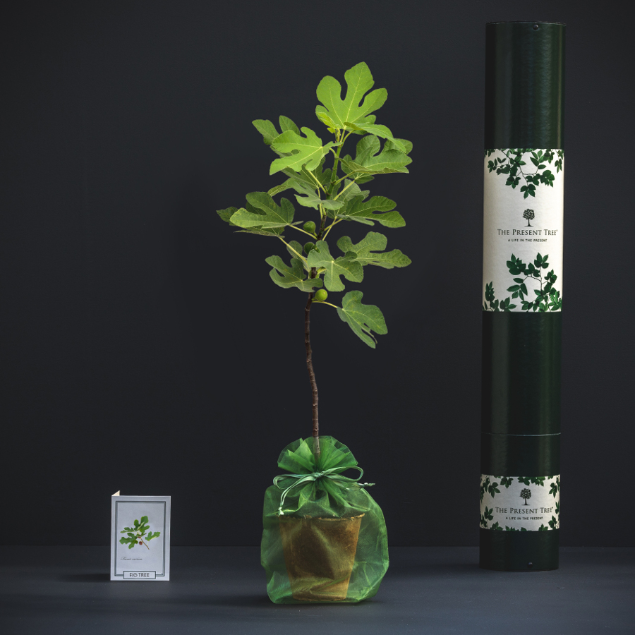 The Present Tree Fig Tree Gift