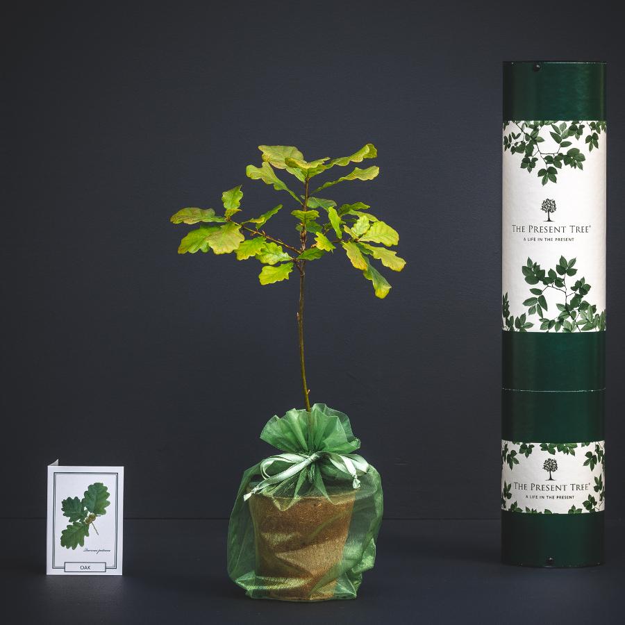 The Present Tree Irish Oak Tree Gift