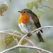 Frosty Morning Robin Christmas Cards - Pack Of 6