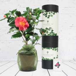 The Present Tree Flowering Camellia Gift