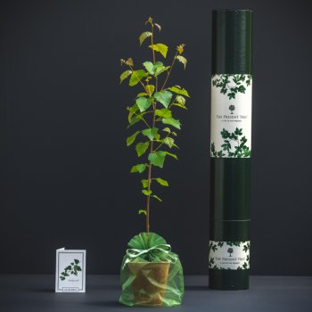 The Present Tree Silver Birch Tree Gift